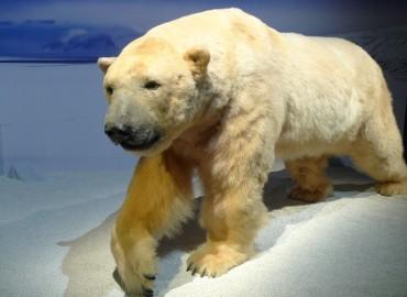 Espèces d'ours au Muséum d'histoire naturelle